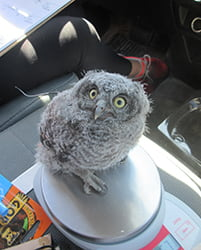 Owl sitting on scale