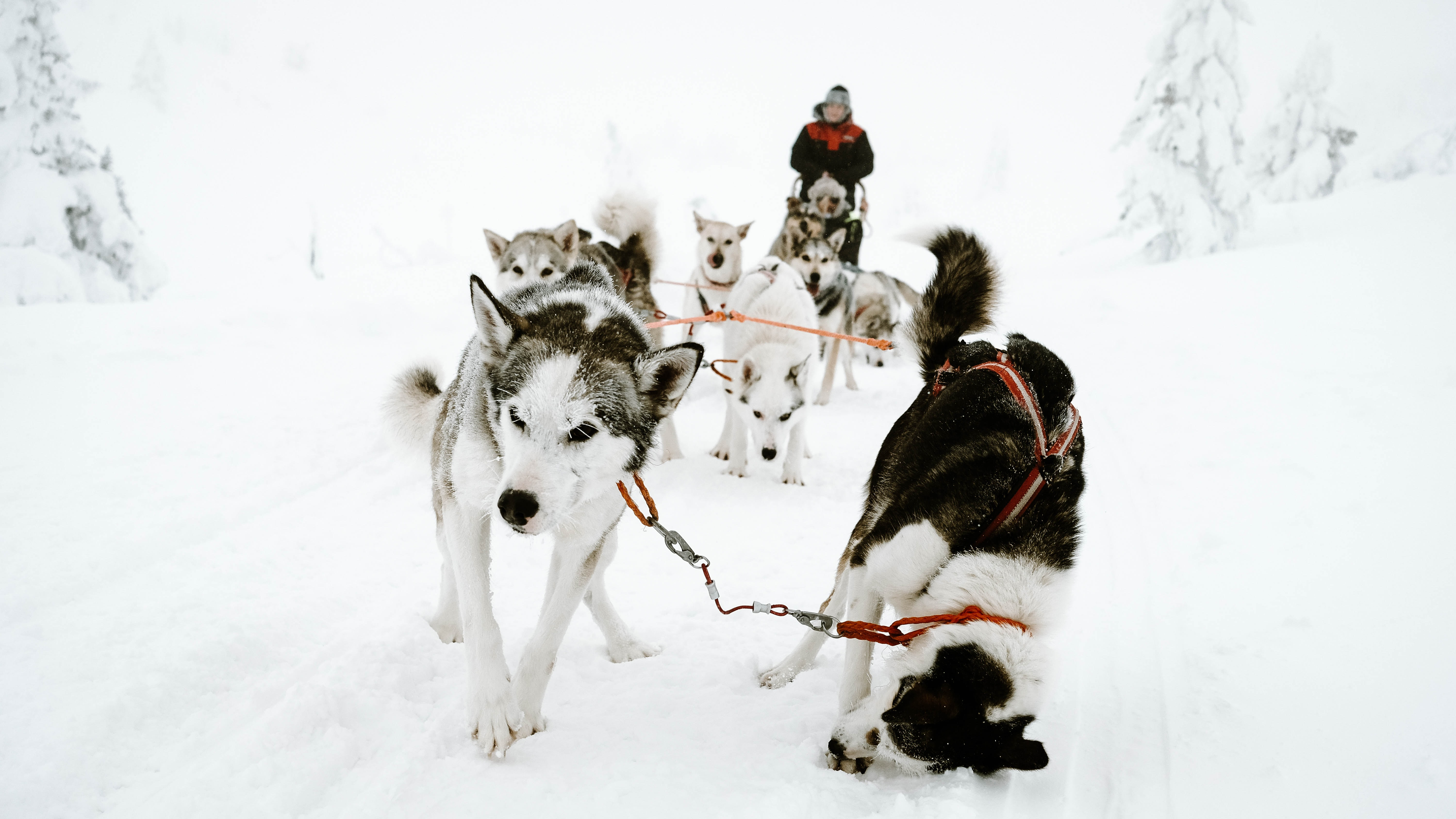 dog sled team with tripping dog