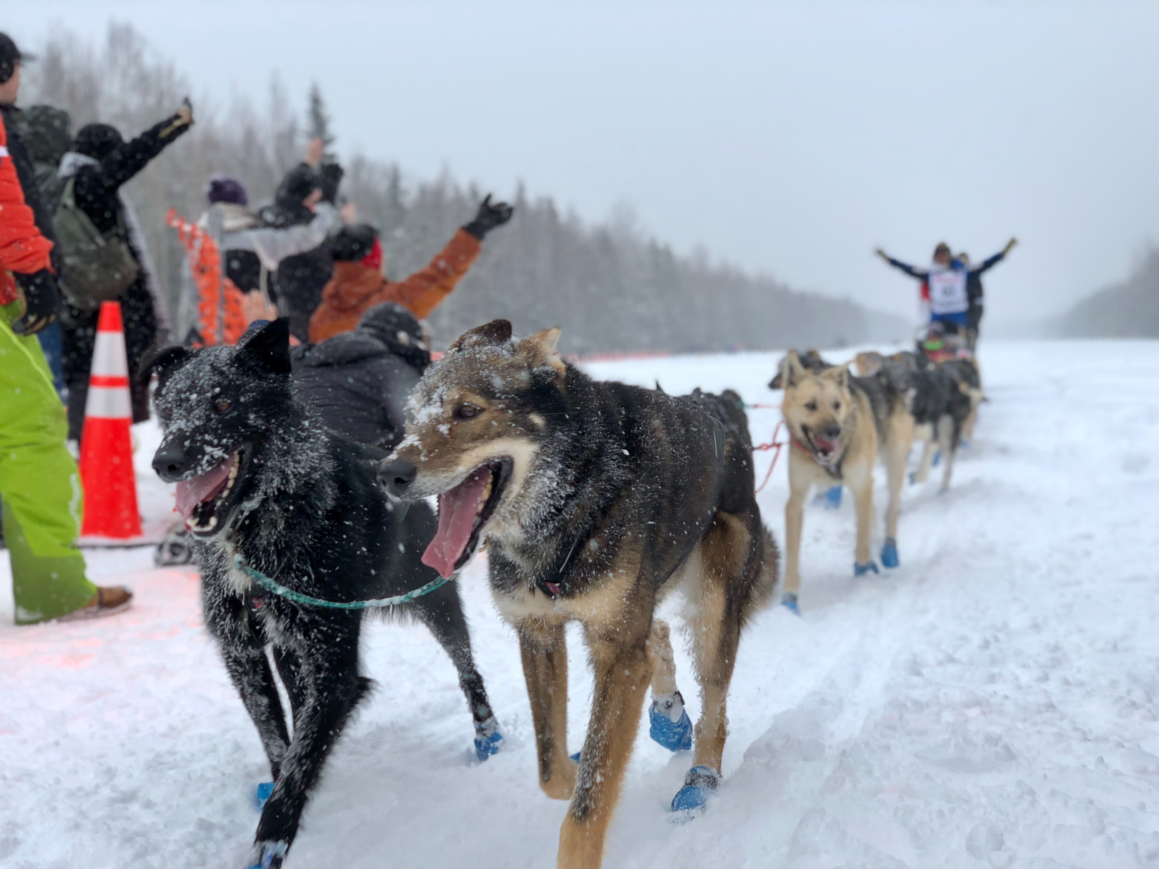 Sled dogs in a race.