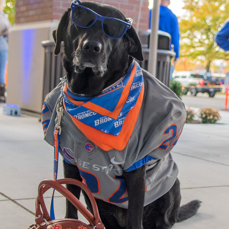 Dog dressed. in Boise State gear
