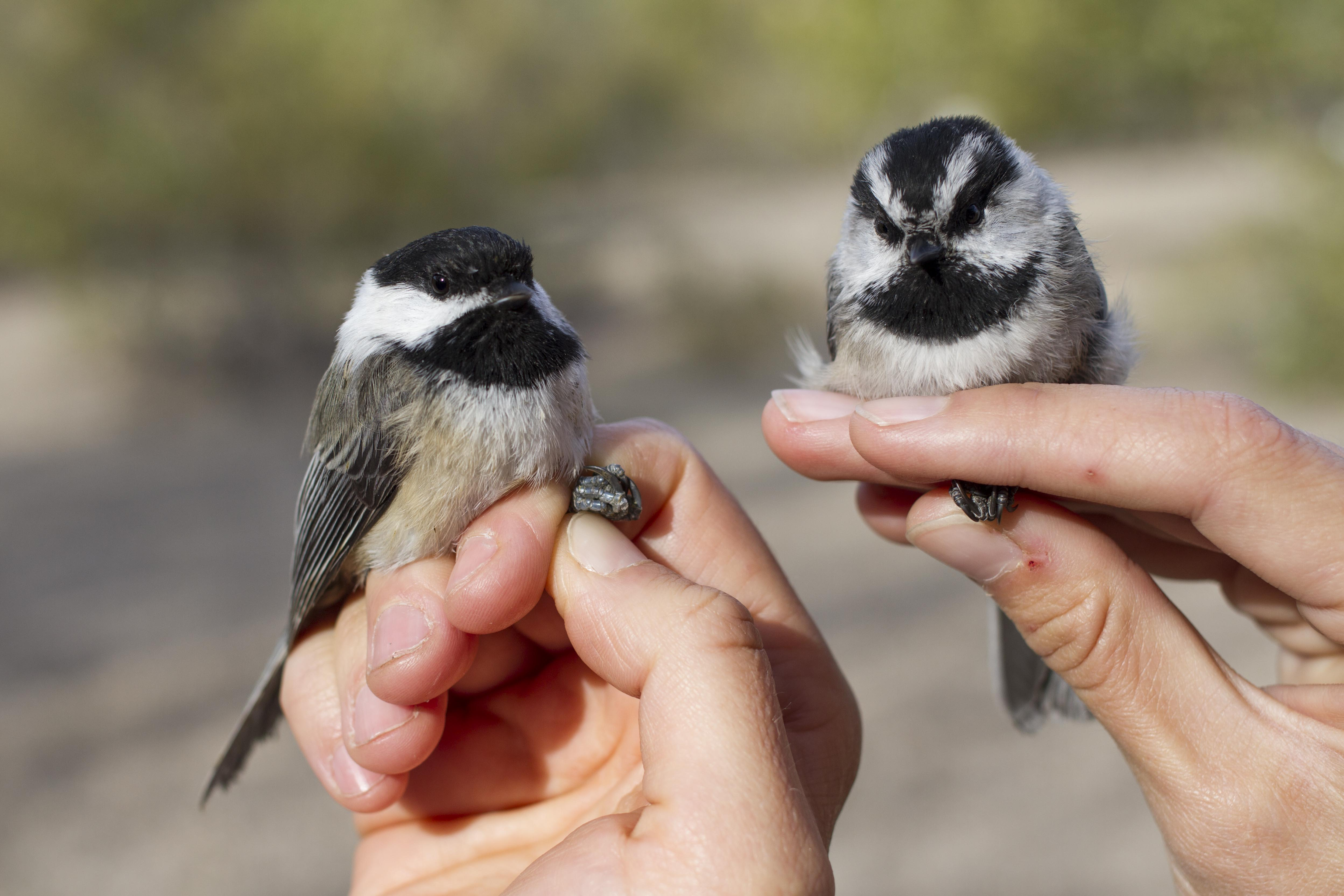 a Mountain Chickadee and Black-capped Chickadee held by scientists