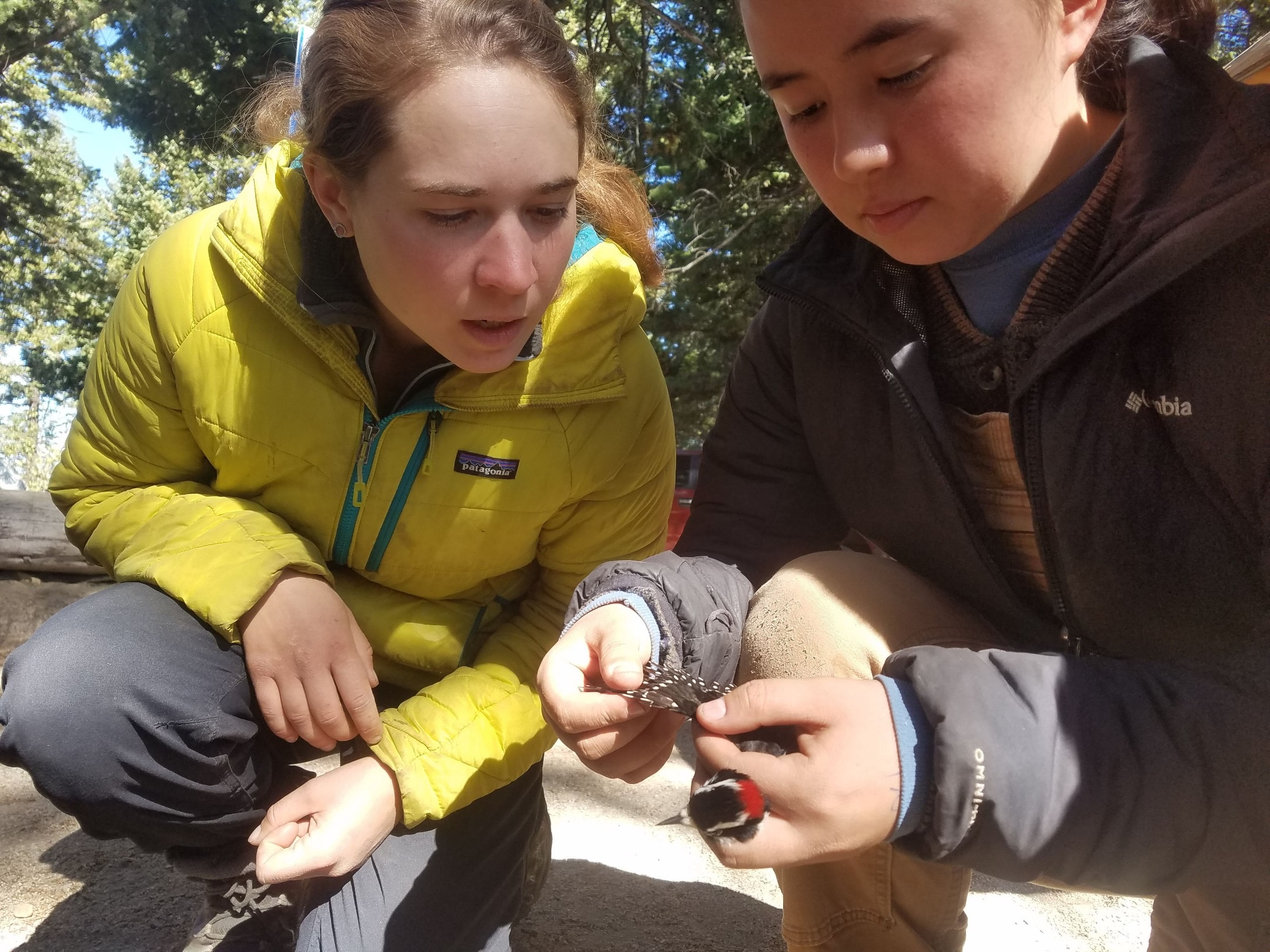 two female biologists look intently at a small woodpecker that is held with outstretched wing