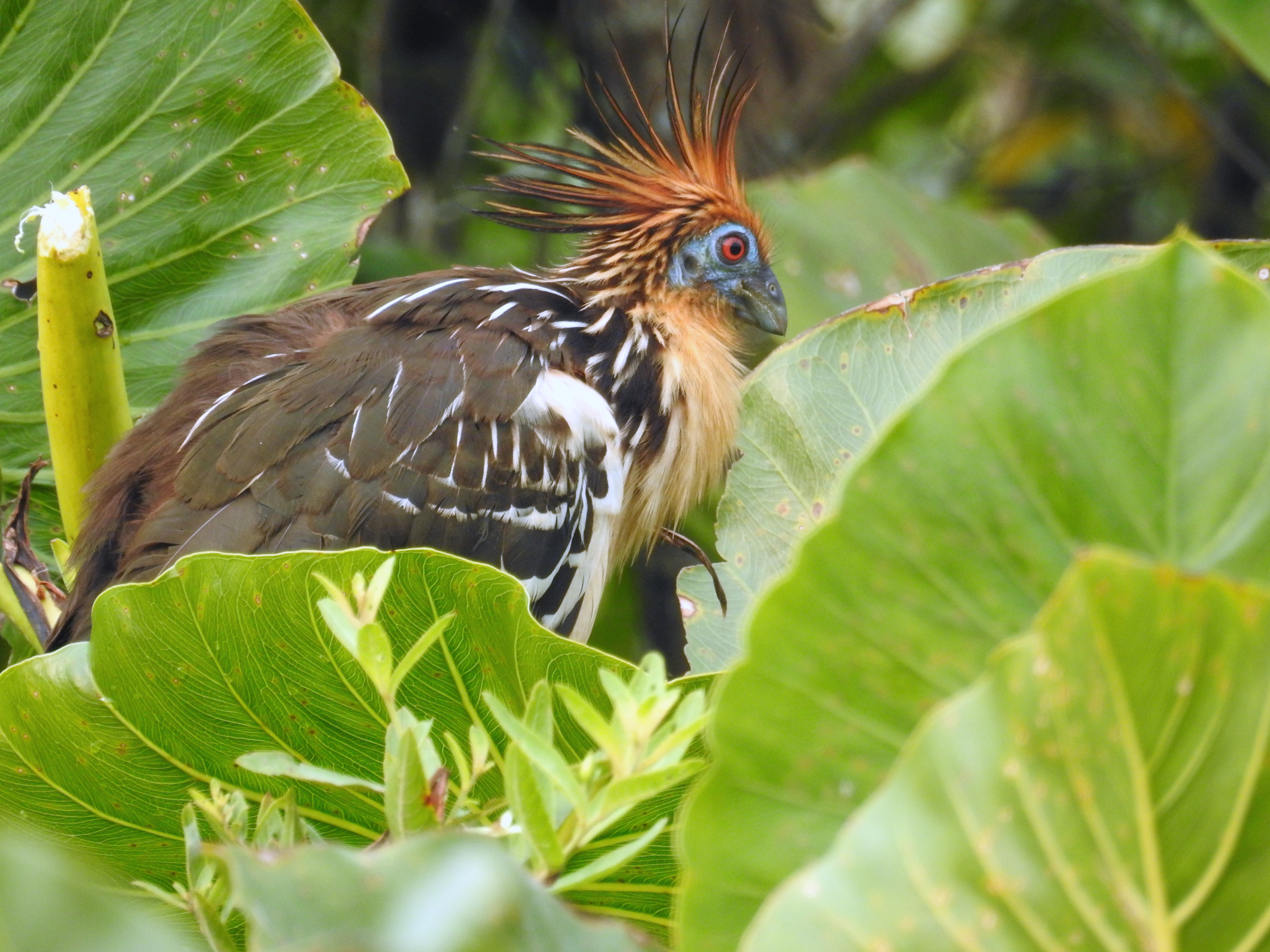 an unusual bird called a Hoatzin has an orange spiked mohawk, blue facial skin, red eyes, and a large chicken-like body