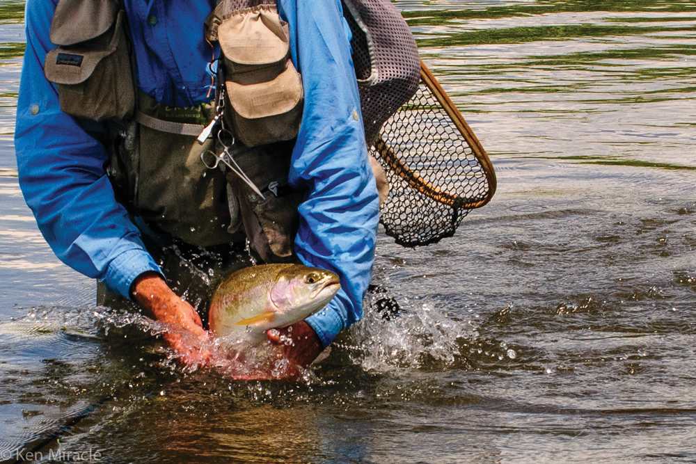 an angler (face off frame) wearing a fishing vest stands waist deep in the river, reaching down toward a splashing trout