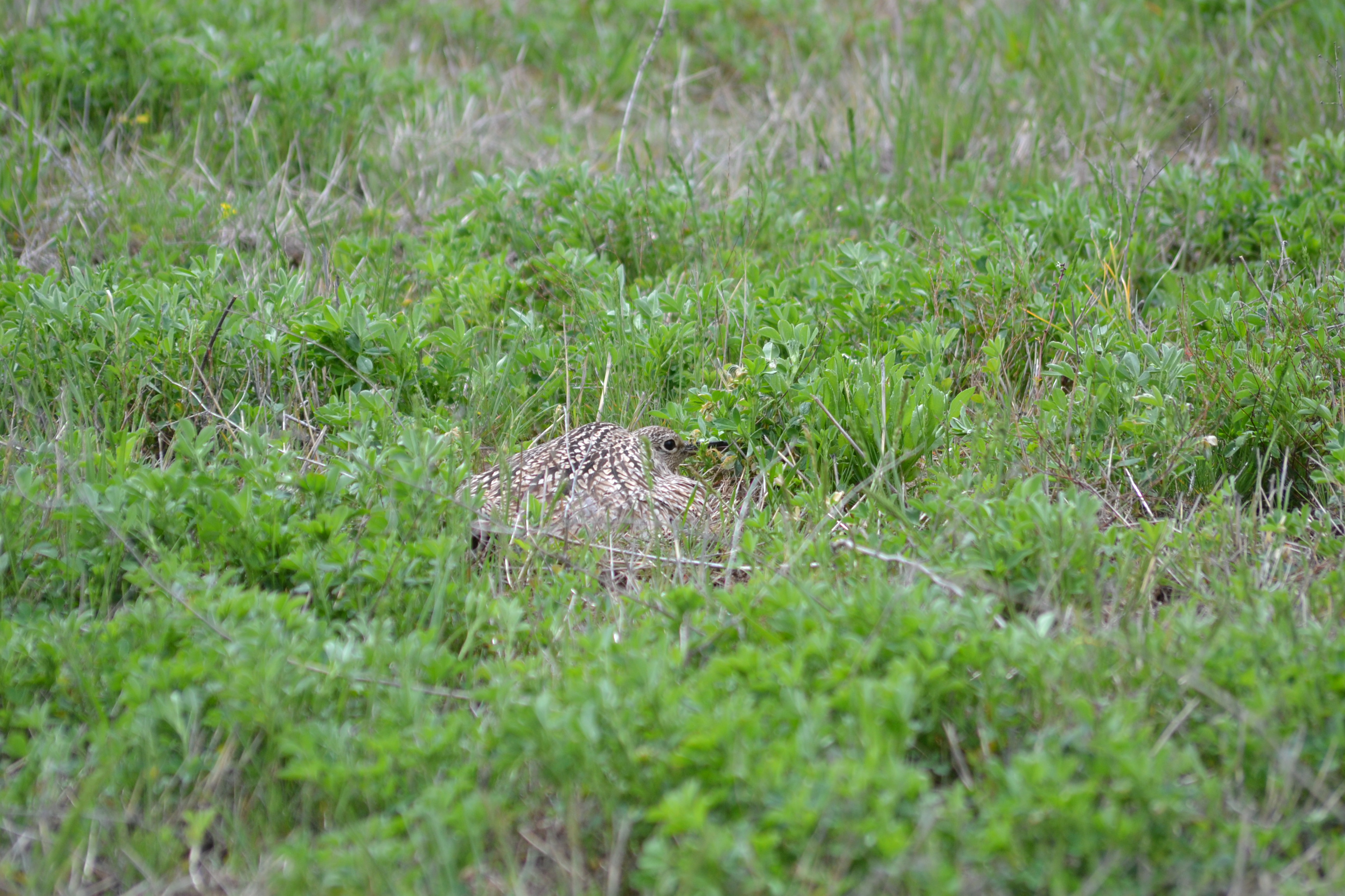 brown bird sitting on ground in alfalfa field