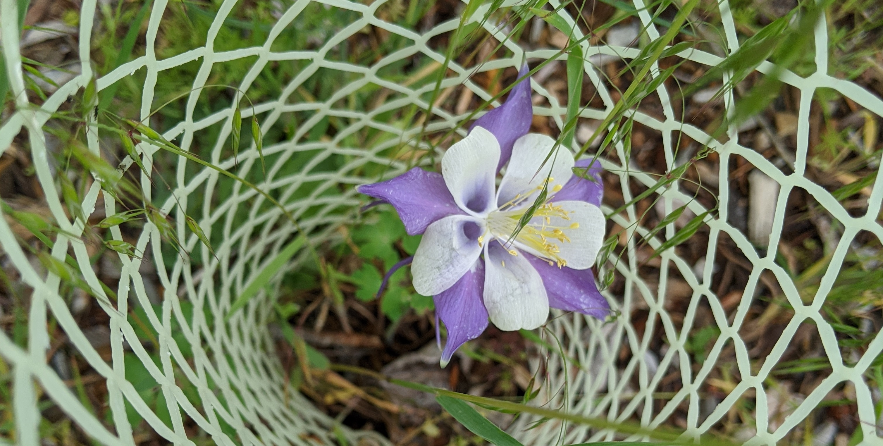 a purple and white columbine flower blooms, surrounded by a protective mesh seedling cage