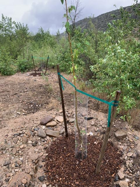 a small cottonwood tree tied up with stakes and wrapped in protective chicken wire