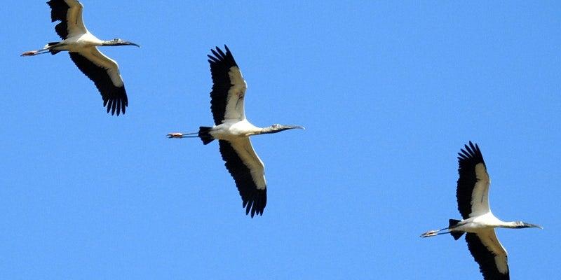 three wood storks fly overhead