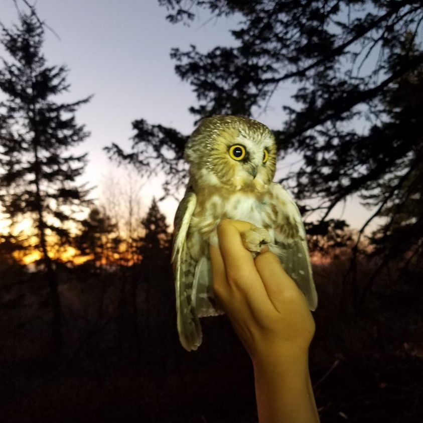 a biologist's hand (reaching in from off camera) holds a small owl. The sky in the background is a sunset with dark tree silhouettes.