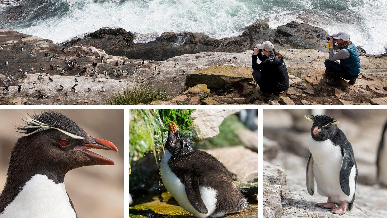 Detail images of Southern rockhopper penguins, Saunders Island