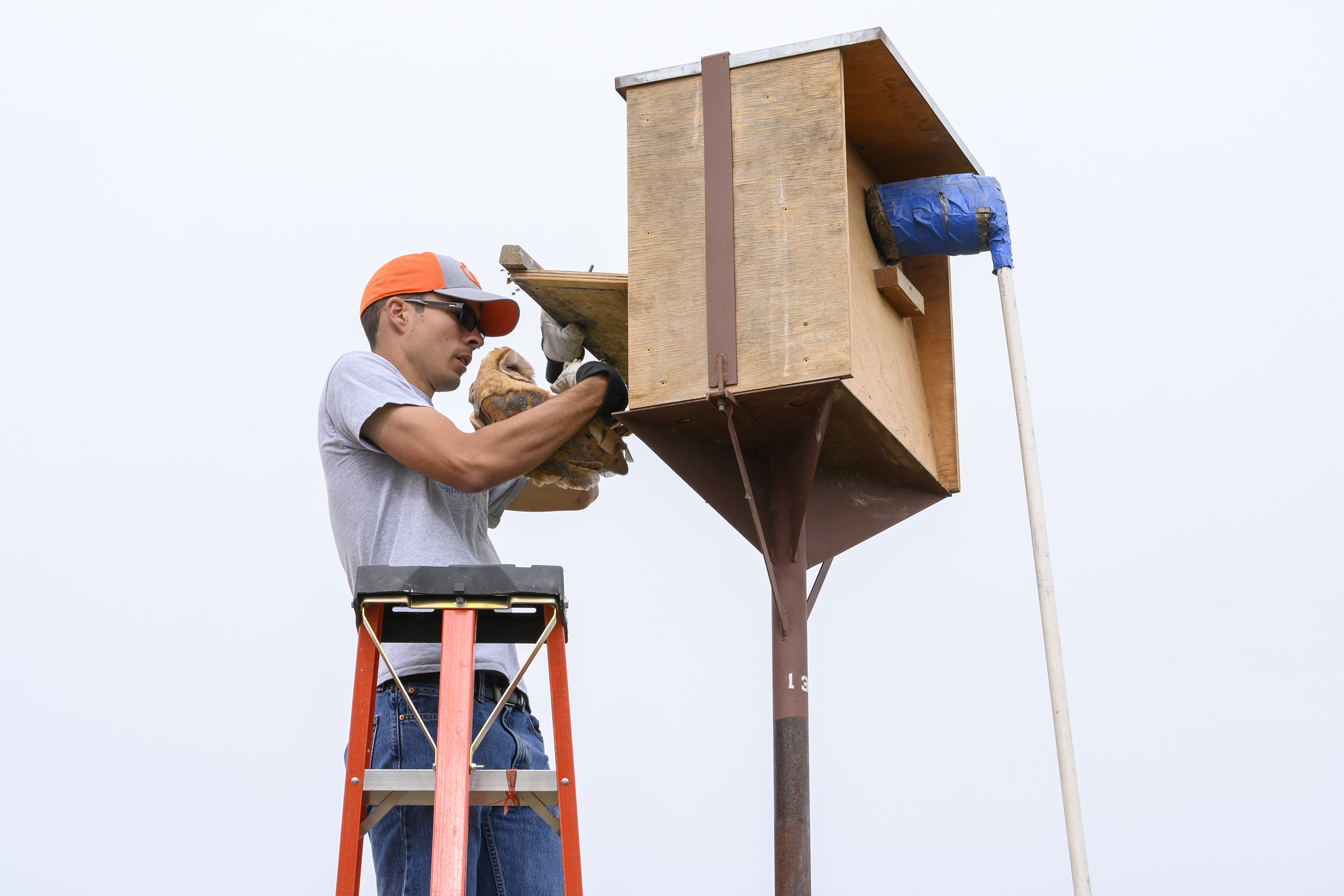 Student ascends ladder and carefully brings barn owl out of nesting box