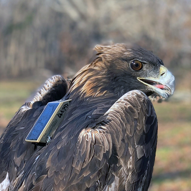Eagle in a back pack