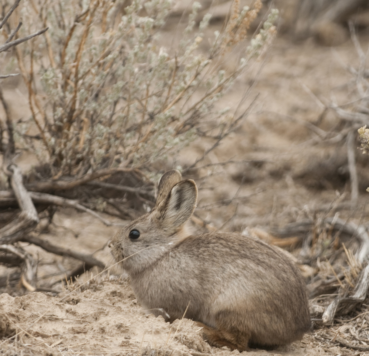 bunny outside near sagebrush