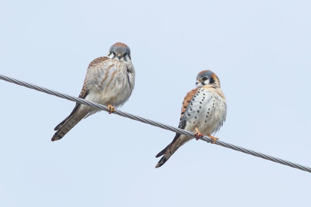 Two kestrels on a wire