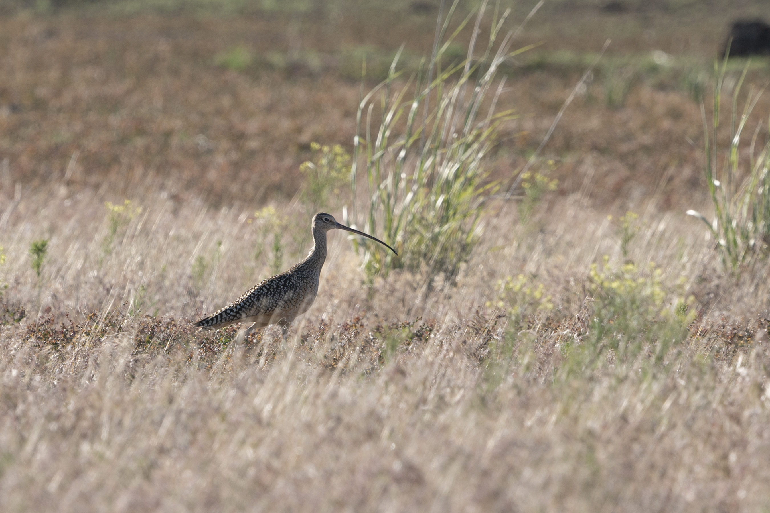 A rare long-billed curlew