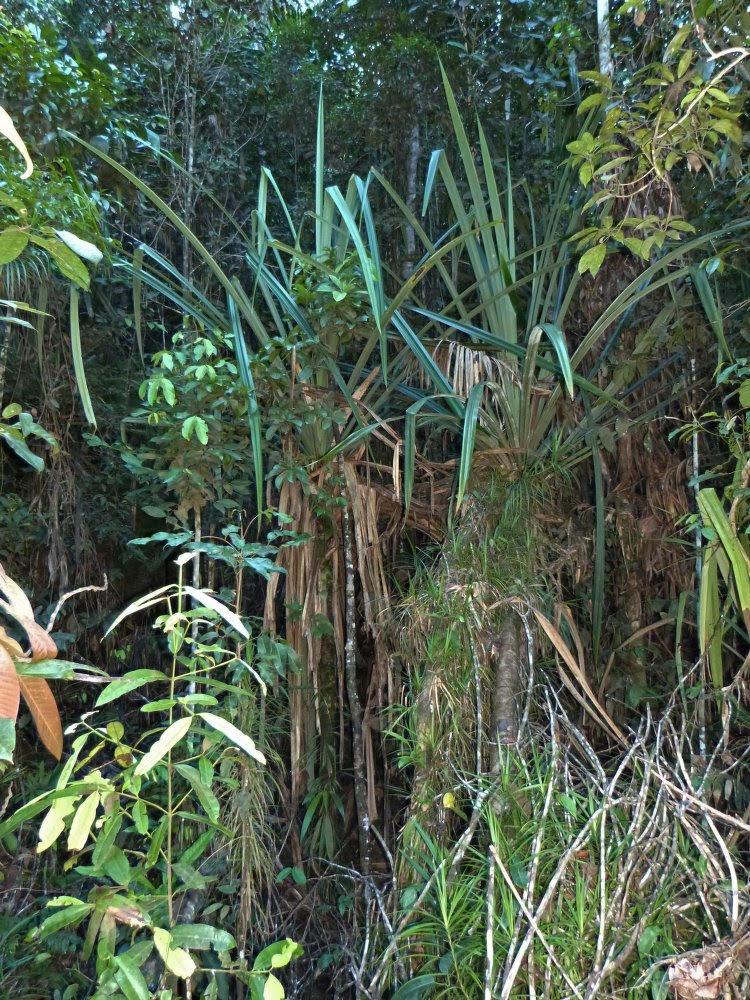 tropic tree-like plant