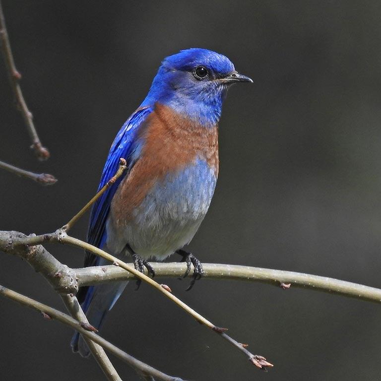 western bluebird on branch