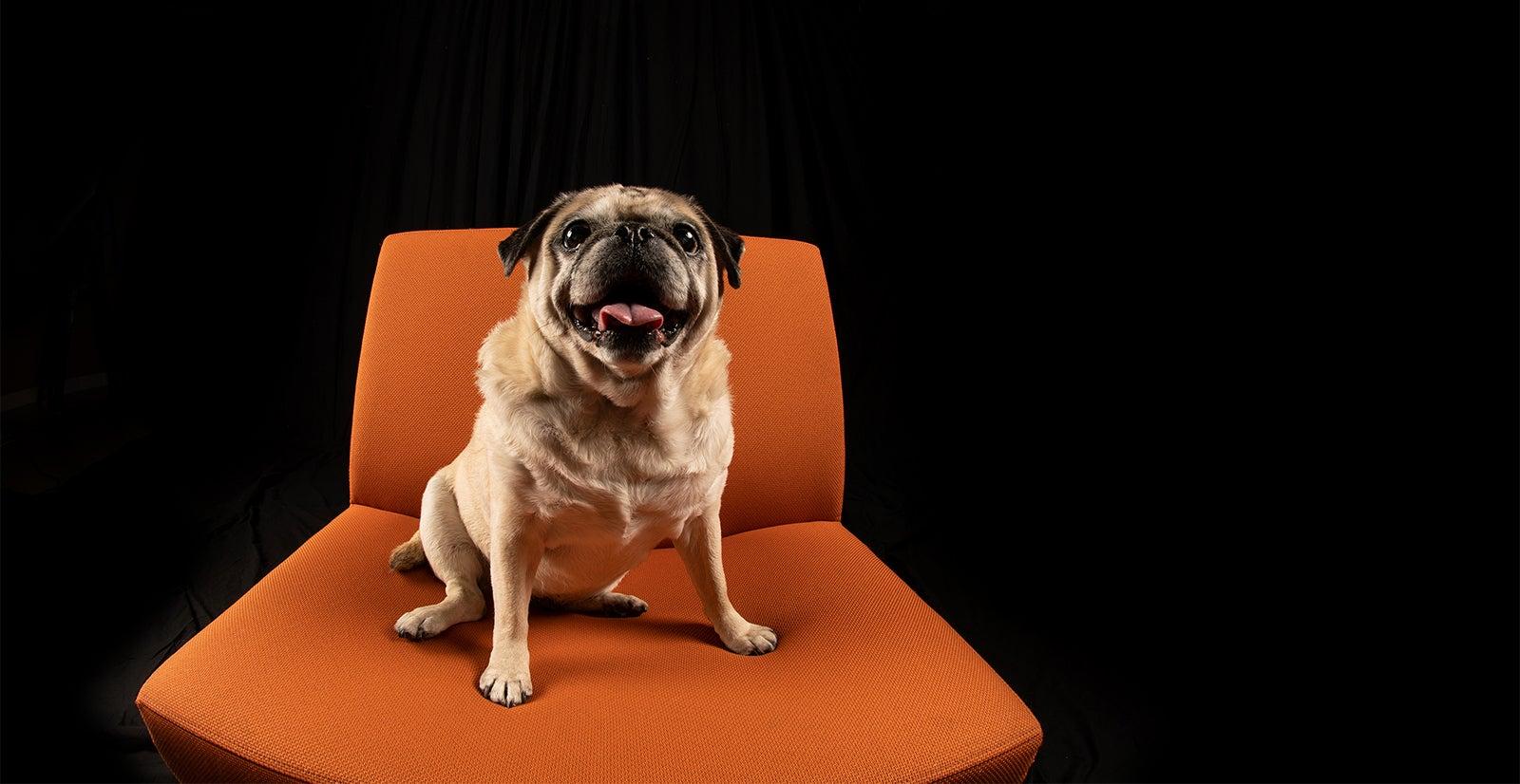 Dog in photo studio on orange chair