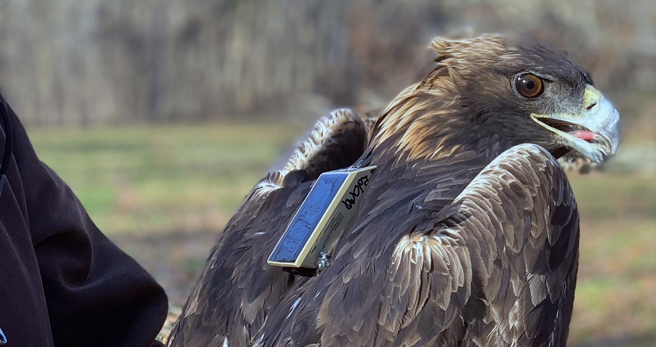 Eagle fitted with a telemetry backpack to track behavioral patterns