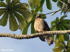 Photo of a barred forest-falcon in a tree
