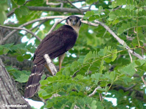 Photo of a Collared forest-falcon