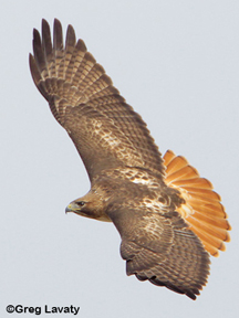 red tailed hawk (photo courtesy of Greg Lavaty)