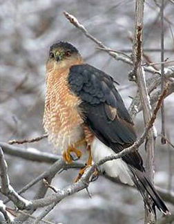 Photo of a Coopers Hawk