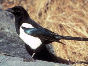 Photo of a black-billed magpie