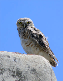 Photo of a burrowing owl sitting on a rock