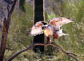 Photo of a Ferruginous hawk on a branch