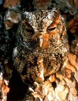 Photo of a Flammulated Owl