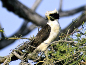 Photo of a Laughing Falcon in the nest