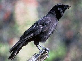 Photo of a Hawaiian Crow
