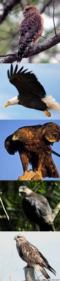 collage of raptors