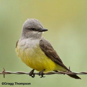 Photo of a Western Kingbird