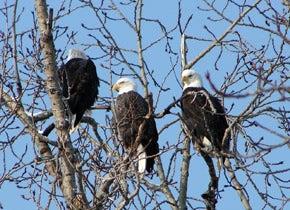 Three bald eagles in tree