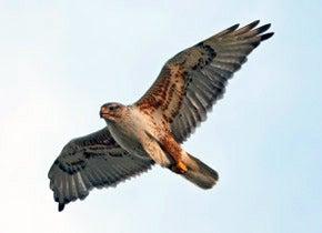 Photo of a Shrubsteppe raptor flying
