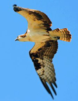 Photo of an Osprey flying