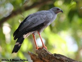Photo of a crane hawk