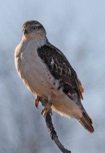 Photo of a Ferruginous hawk