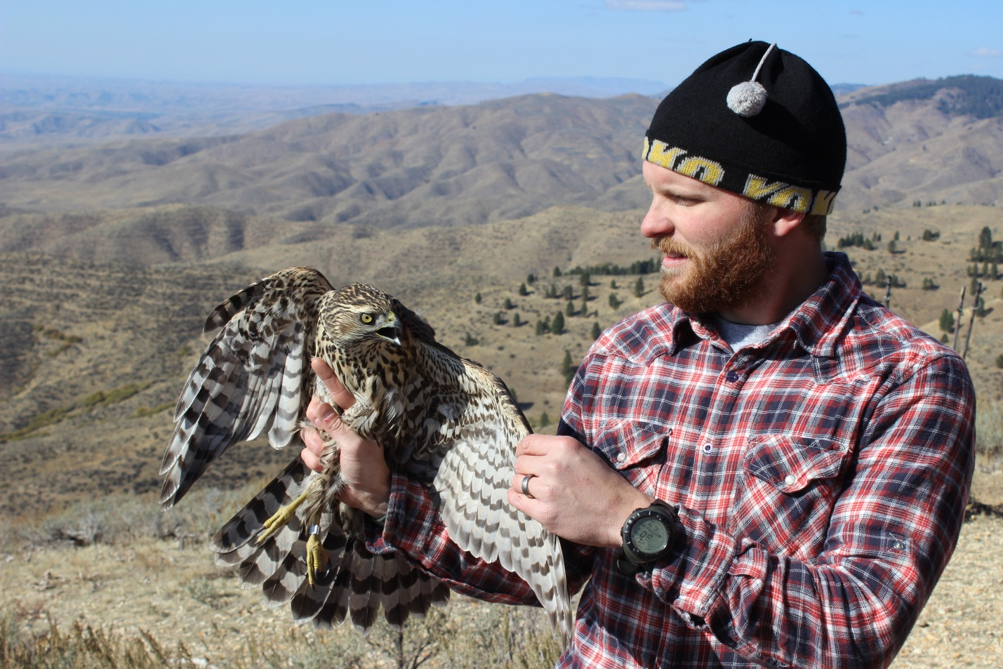 Matt Stuber holding a hatch-year northern goshawk captured and banded at the Intermountain Bird Observatory's Lucky Peak Field Station, just outside of Boise, ID