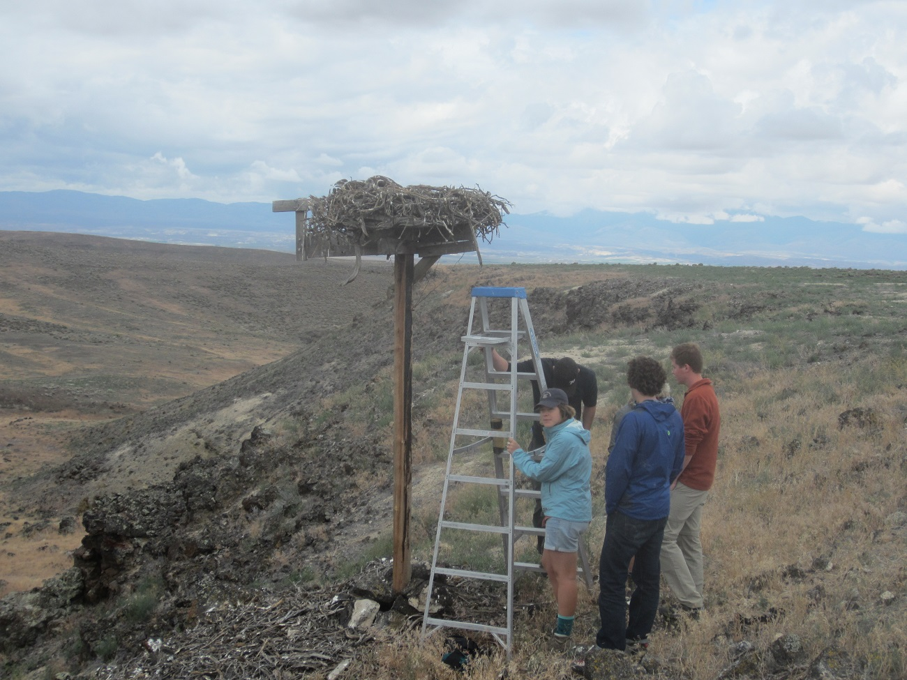 Ladder by a Ferruginous Hawk nest with people ready to band birds