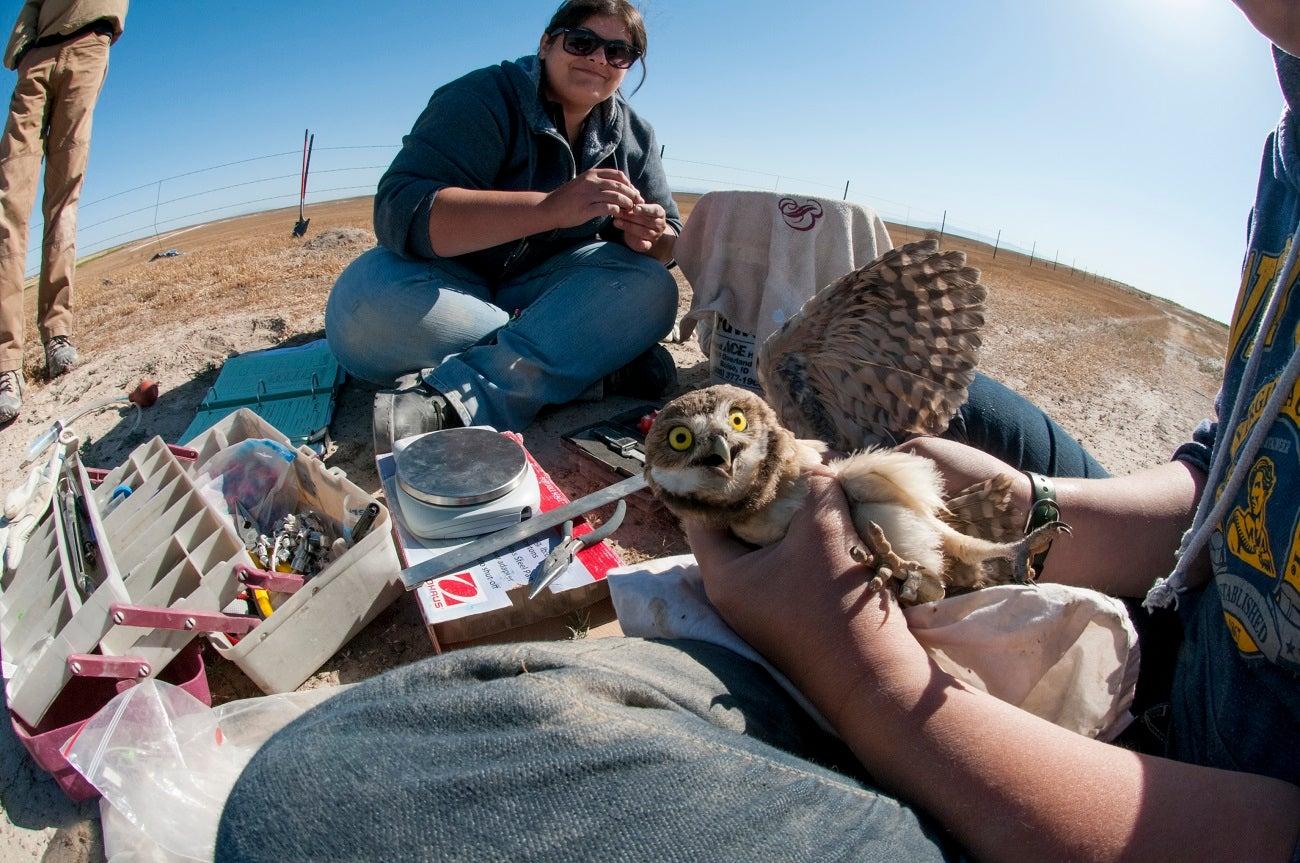 REU students banding burrowing owls in the owls' habitat