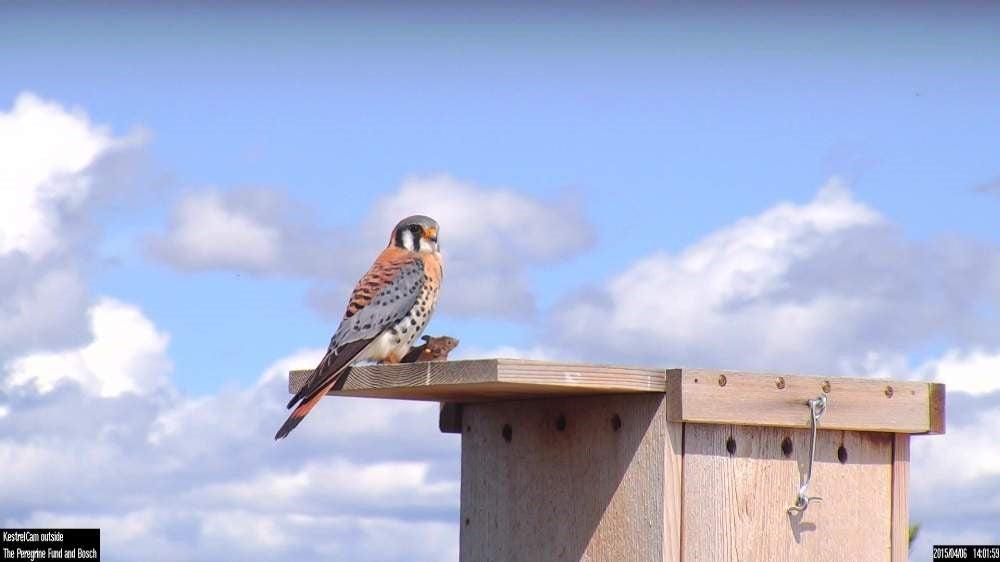 American kestrel on a nesting box