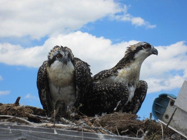 Osprey pair on a nest