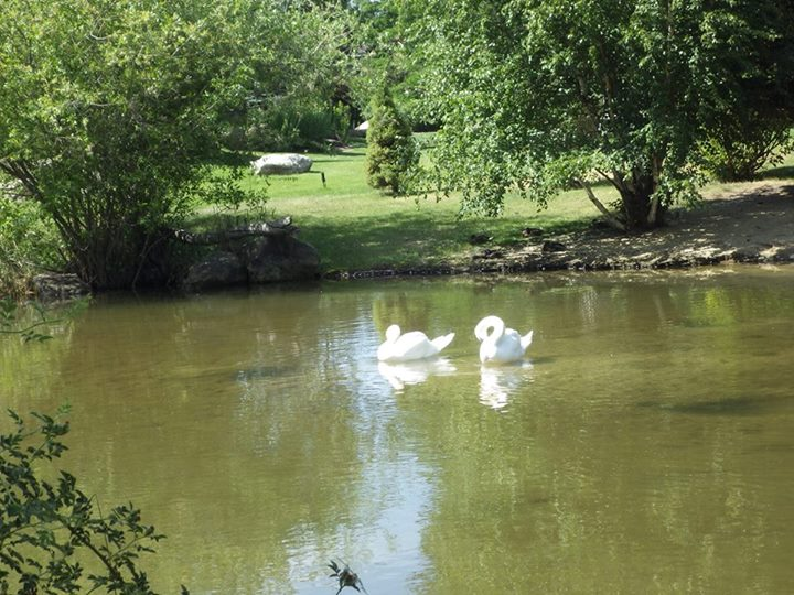 Photo of swans on pond