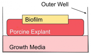Diagram - outer well, growth media, procine explant, and biofilm