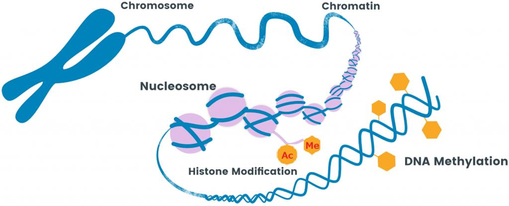 Chromosome, Chromatin, Nucleosome, Histone Modification, DNA Methylation