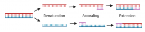 Diagram, Steps of PCR