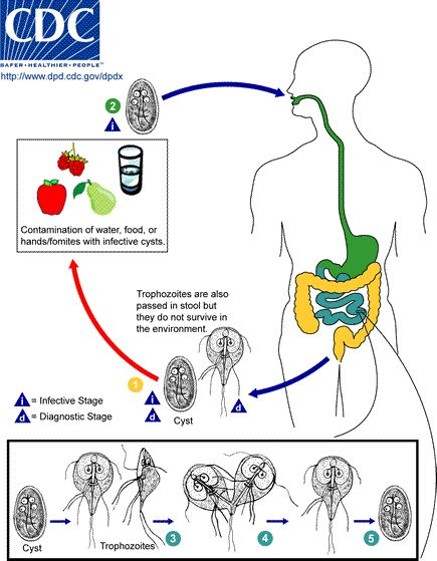Diagram-Trophozoites are also passes in stool but they do not survive in the environment. Contamination of water, food, or hands/fomites with infective cycts. Ingested by humans.